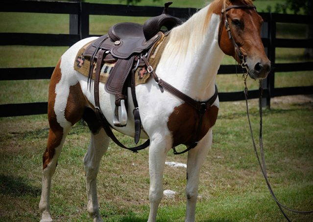 001-Amiga-APHA-Mare-For-Sale