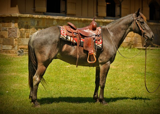 001-Blue3-AQHA-Blue-Roan-For-Sale