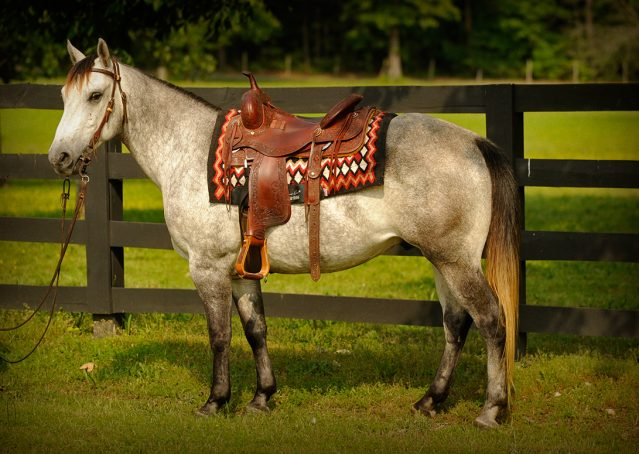001-Casper-Grey-Quarter-Horse-Gelding-For-Sale