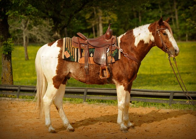 001-Cat-APHA-High-Brow-Cat-Bay-Tobiano-Gelding-For-Sale