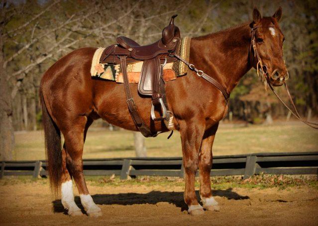 001-Chilli-chestnut-aqha-gelding-for-sale