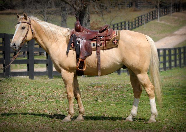 001-Cisco-Palomino-Quarter-Horse-Gelding
