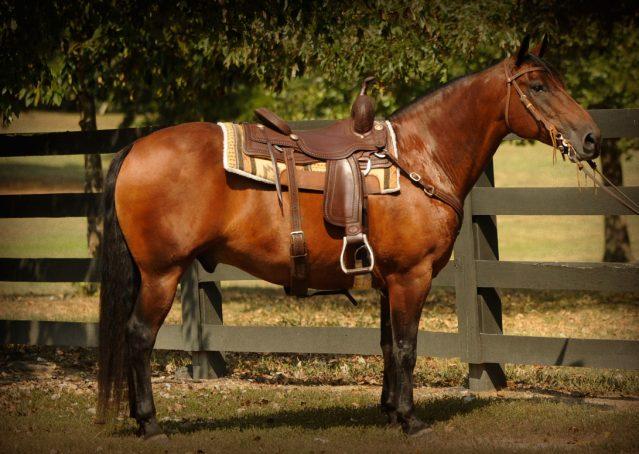 001-Dixon-Bay-gelding-for-sale