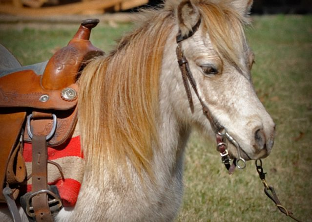 001-Drew-Paint-Mini-Pony-For-Sale