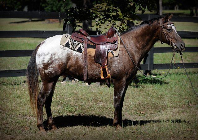 001-Frank-POA-gelding-for-sale