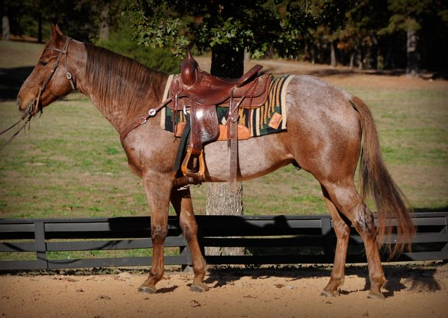 001-Jack-Frost-AQHA-Red-Roan-Gelding-For-Sale