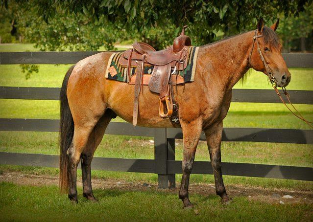001-Jasper-Bay-Roan-Quarter-horse-gelding-for-sale-1