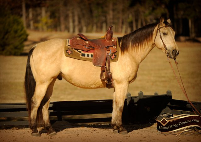 001-King-Buckskin-AQHA-Gelding-For-Sale