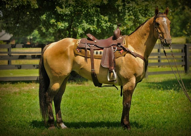 001-King-Buckskin-gelding-for-sale