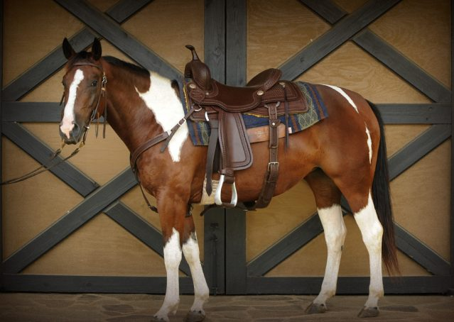 001-Lena-APHA-mare-for-sale