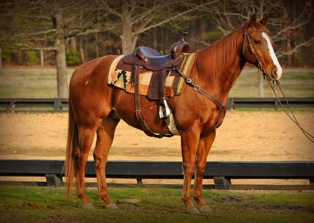 001-Punchy-Sorrel-AQHA-gelding-for-sale