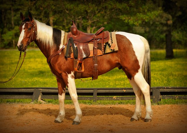 001-Rebel-APHA-Bay-Tobiano-Gelding-For-Sale