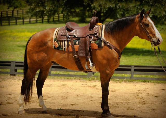 001-Romeo-APHA-for-sale