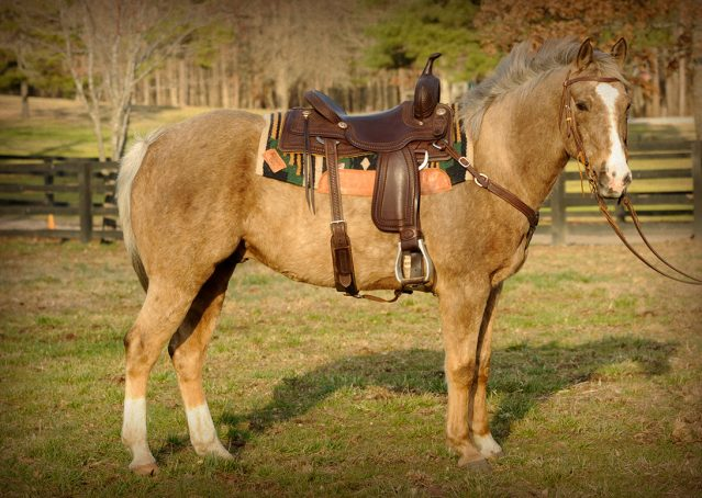 001-Smokey-chocolate-palomino-for-sale