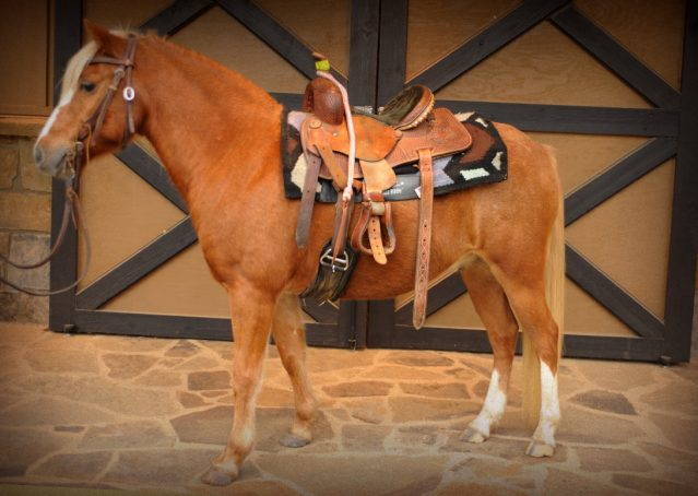 001-Sonney-Chestnut-pony-for-sale
