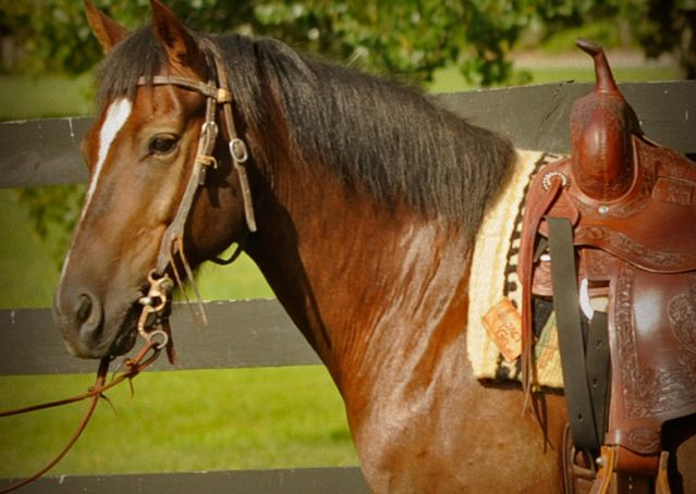 001-Stone-Bay-Quarter-Horse-Gelding-For-Sale