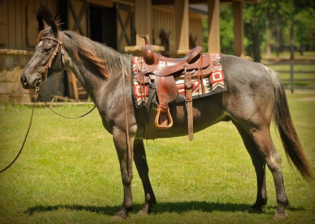 002-Blue3-AQHA-Blue-Roan-For-Sale