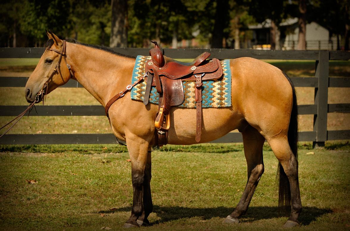 Quarter horse running buckskin