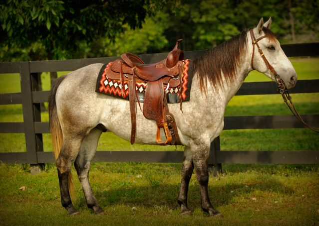 002-Casper-Grey-Quarter-Horse-Gelding-For-Sale