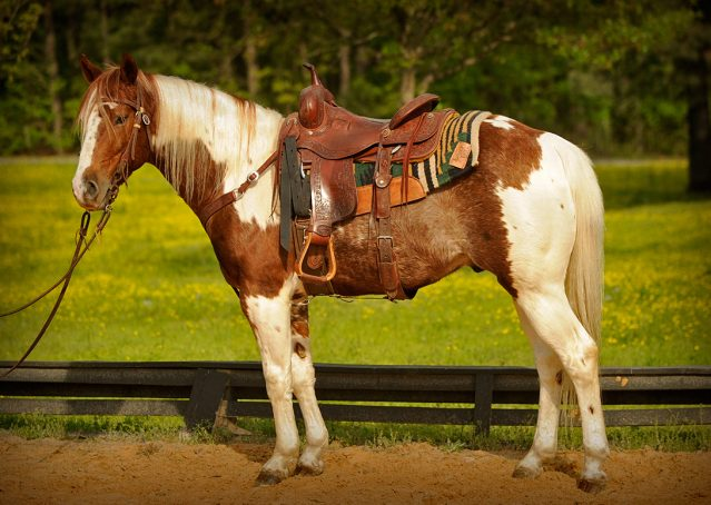 002-Cat-APHA-High-Brow-Cat-Bay-Tobiano-Gelding-For-Sale