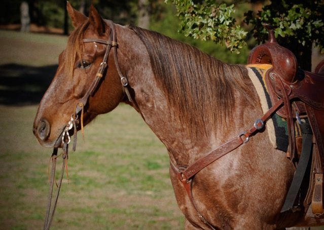 002-Jack-Frost-AQHA-Red-Roan-Gelding-For-Sale