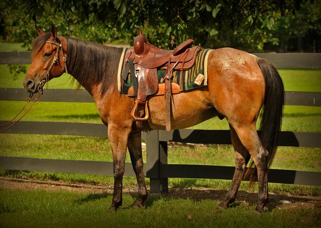 002-Jasper-Bay-Roan-Quarter-horse-gelding-for-sale-1