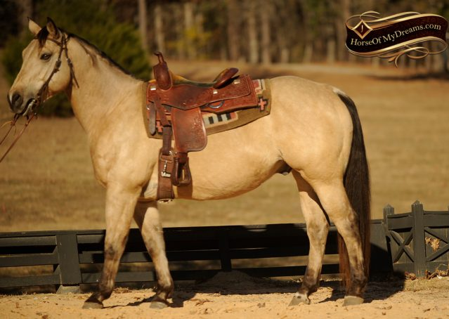 002-King-Buckskin-AQHA-Gelding-For-Sale