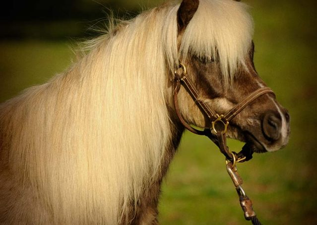 002-Mocha-chocolate-palomino-pony-for-sale