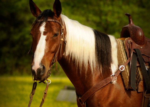 002-Rebel-APHA-Bay-Tobiano-Gelding-For-Sale