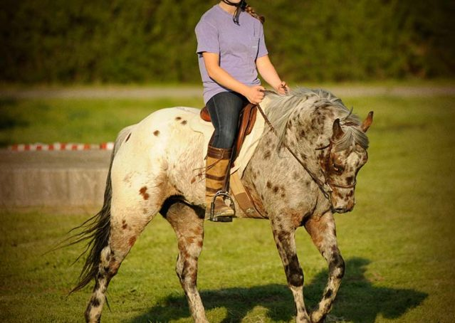 002-Shy-appaloosa-pony-for-sale