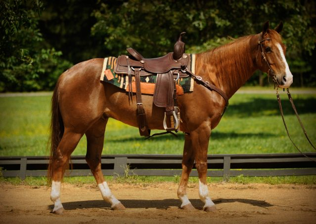 002-Smarty-AQHA-gelding-for-sale (1)