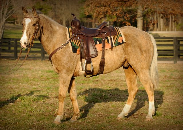 002-Smokey-chocolate-palomino-for-sale