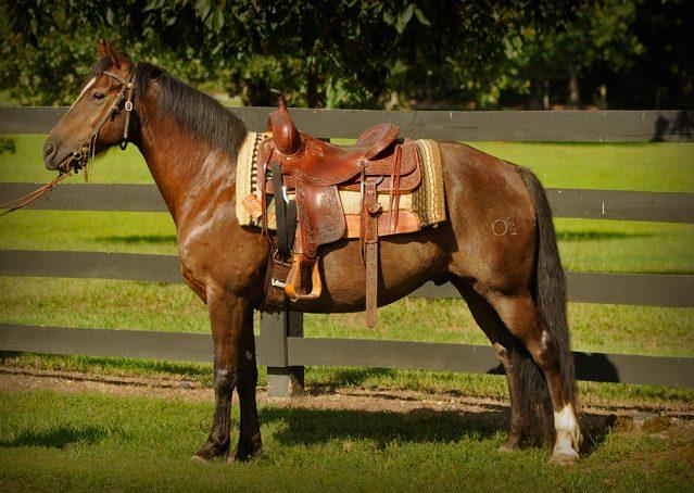 002-Stone-Bay-Quarter-Horse-Gelding-For-Sale