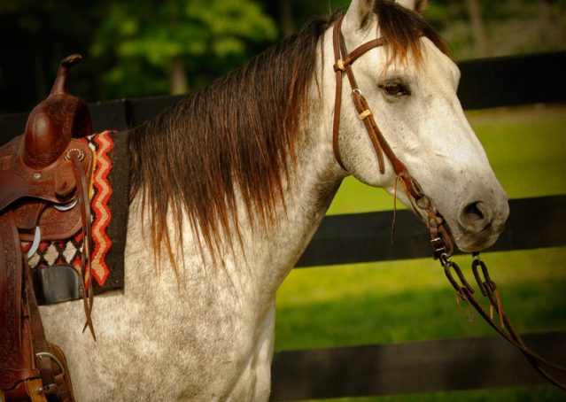 003-Casper-Grey-Quarter-Horse-Gelding-For-Sale