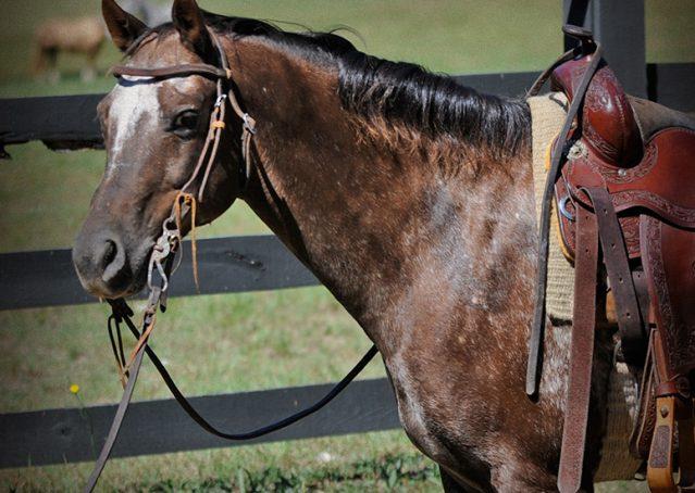 003-Frank-POA-gelding-for-sale