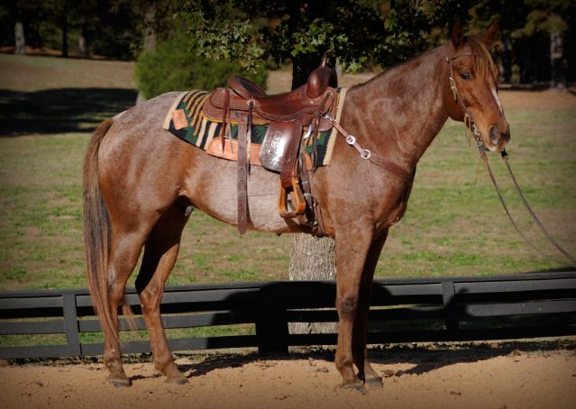 003-Jack-Frost-AQHA-Red-Roan-Gelding-For-Sale