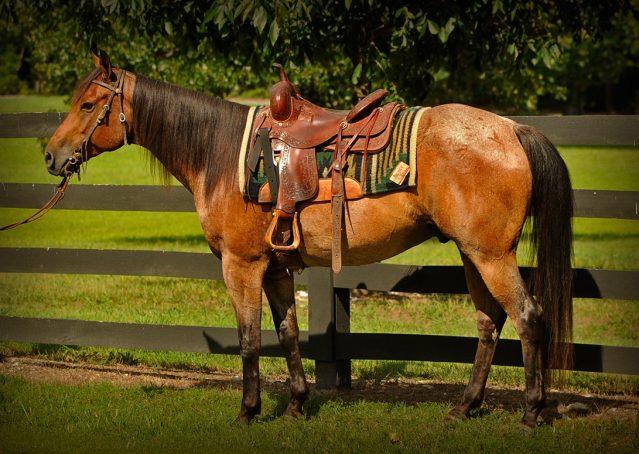 003-Jasper-Bay-Roan-Quarter-horse-gelding-for-sale