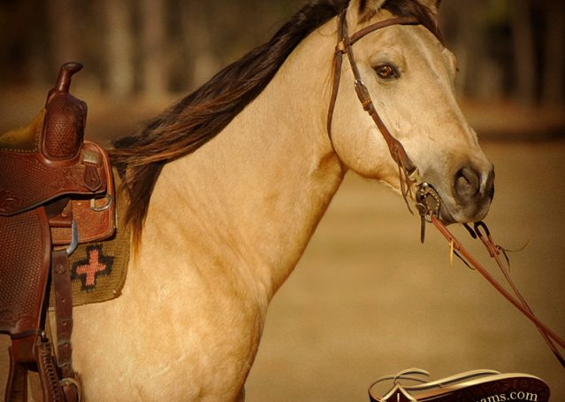 003-King-Buckskin-AQHA-Gelding-For-Sale