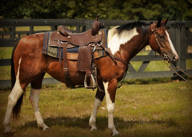 003-Lena-APHA-mare-for-sale