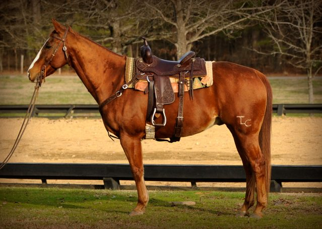 003-Punchy-Sorrel-AQHA-gelding-for-sale