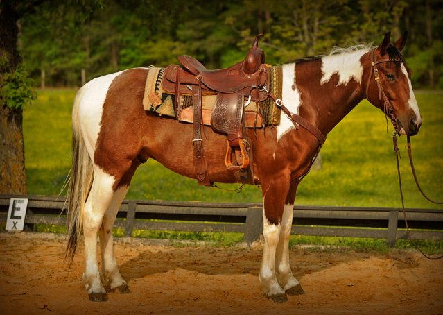 003-Rebel-APHA-Bay-Tobiano-Gelding-For-Sale
