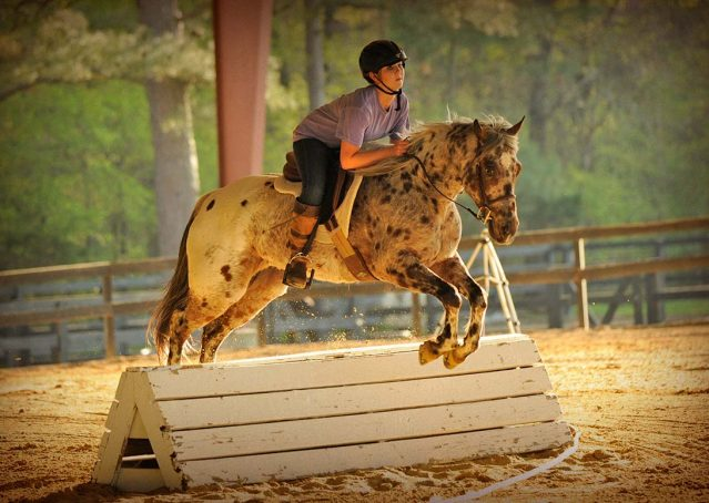 003-Shy-appaloosa-pony-for-sale