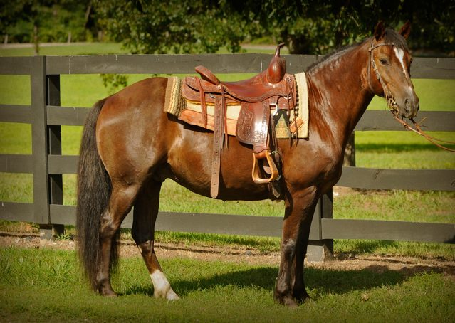 003-Stone-Bay-Quarter-Horse-Gelding-For-Sale