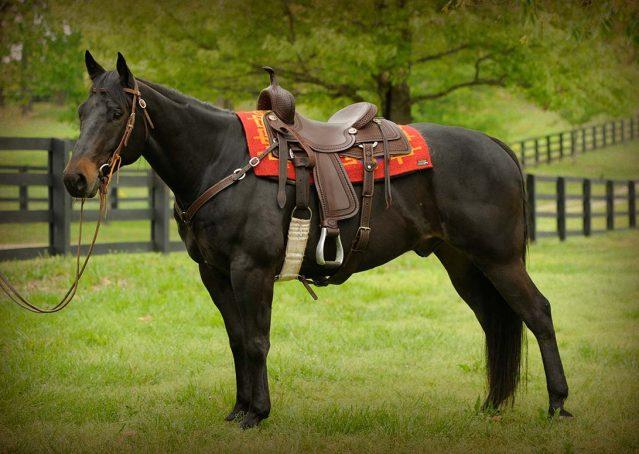 003-gunner-AQHA-gelding-for-sale