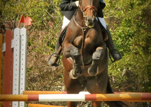 004-Beijing-dutch-warmblood-for-sale