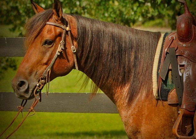 004-Jasper-Bay-Roan-Quarter-horse-gelding-for-sale