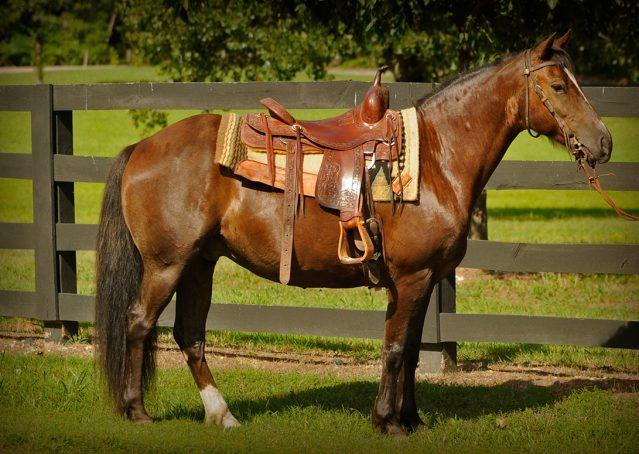 004-Stone-Bay-Quarter-Horse-Gelding-For-Sale