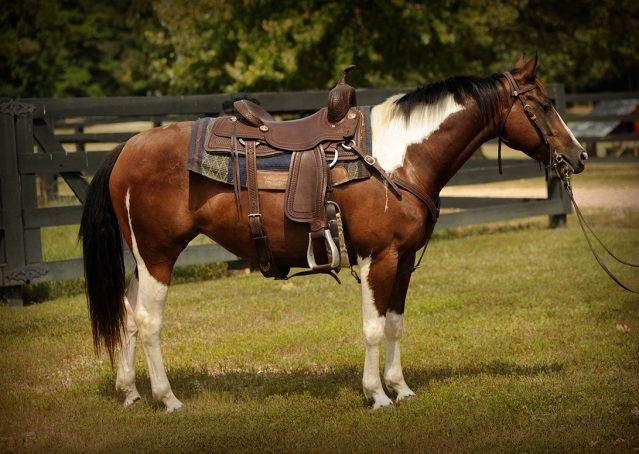 005-Lena-APHA-mare-for-sale