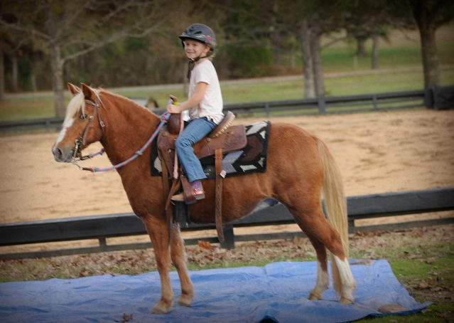 008-Sonney-Chestnut-pony-for-sale