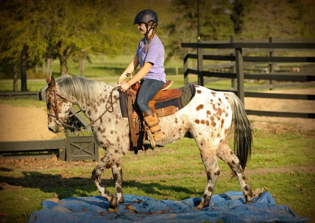 009-Shy-appaloosa-pony-for-sale